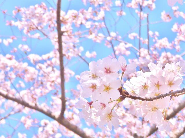 3月4月(桜)